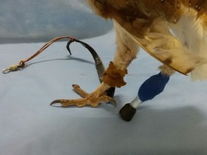 Segundo veterinário, ave não deve voltar para a natureza. Foto: Claudio Yudi/ Arquivo Pessoal