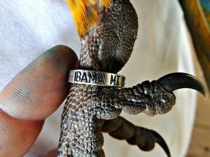 Aves receberam anilhas para serem monitoradas. Foto: César Soares/Ibama-MT