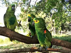 Entre os animais recapturados estão estão 87 papagaios-verdadeiros. Foto: César Soares/Ibama-MT