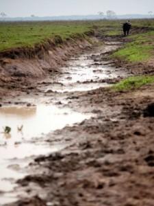 Animais andam em manadas e formam valas. Foto: Sedam/Divulgação