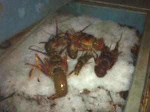 Ibama apreende 1 tonelada de lagosta em São Mateus. Foto: Reprodução/ TV Gazeta