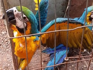 PF prende 3 por tráfico de aves silvestres em Aparecida de Goiânia. Foto: Reprodução/TV Anhanguera