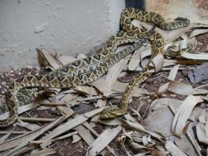 Filhotes de cascavel já fizeram a primeira troca de pele. Foto: Divulgação/Secom Sorocaba
