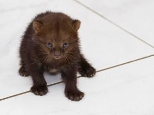 Gato-mourisco bebê. Foto: Jefferson Leite