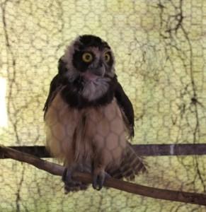 Coruja-de-óculos foi encontrada em casa na Zona Sudeste de Teresina. Foto: Catarina Costa/G1 PI