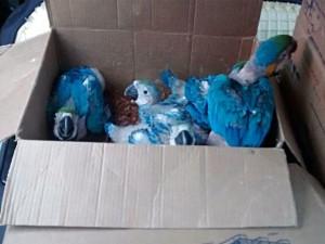 Aves eram mantidas em caixas apertadas e foram resgatadas. Foto: Polícia Federal/Divulgação