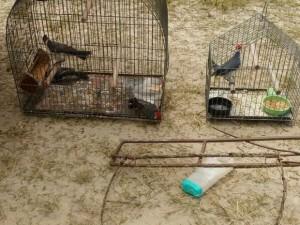 Aves e alçapão ficavam no pátio da residência. Foto: Divulgação/Brigada Militar