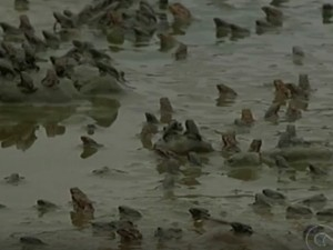 Infestação de sapos em Petrolina, no Sertão de Pernambuco. Foto: Reprodução/ TV Grande Rio