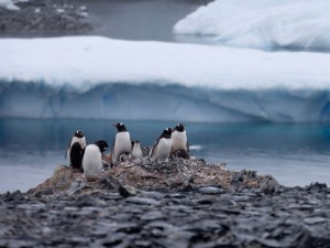 Foto de 22 de janeiro mostra pinguins em rochas perto da estação chilena Bernardo O´Higgins, na Antártica. Foto: AP Photo/Natacha Pisarenko