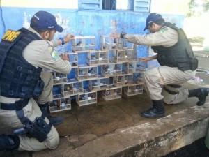 Motorista foi preso com 38 pássaros em porta-malas de carro em Mato Grosso.  Foto: Assessoria/PRF-MT
