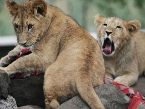 Foto de arquivo de 2006 mostra leões em um jardim da embaixada da Itália em Addis Abeba, na Etiópia. Foto: AP Photo/Guy Calaf/Arquivo