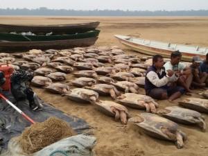 Tartarugas seriam comercializadas no estado do Amazonas, diz polícia. Foto: Divulgação/ ICMBio