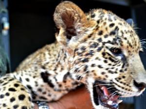 Animal foi encontrado às margens de estrada por uma família do município de Mâncio Lima, no interior do Acre. Foto: Luizio Oliveira/Arquivo Pessoal