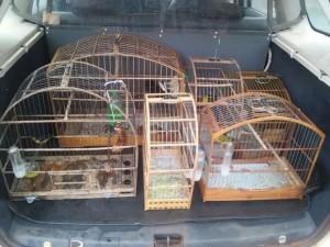 Pássaros de diversas espécies foram resgatados. Foto: Divulgação / Polícia Ambiental