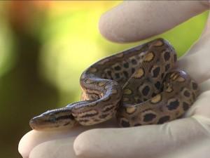 Uma das treze jiboias que nasceram no zoológico de Salvador. Foto: Imagens/TV Bahia