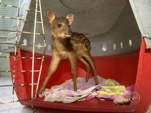 Filhote foi encontrado em porta-malas de carro e deverá voltar à natureza após tratamento. Foto: Reprodução/TV TEM