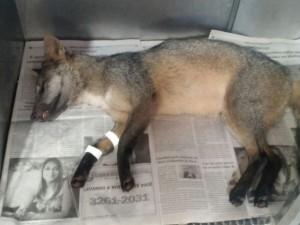 Cachorro do mato foi encontrado o atropelado. Foto: Evandro Vaz da Silva/ Arquivo pessoal