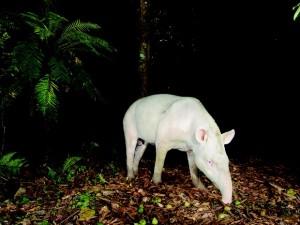 Animal captou foto ao passar por equipamento instalado na mata por fotógrafo. Foto: Luciano Candisani/Divulgação
