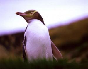 Hoje existem apenas 2.000 pinguins-de-olho-amarelo no mundo, sendo que uma década atrás a população estimada era de 6.000. Foto: Penguin Place