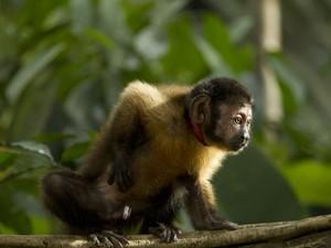 Macaco-prego, em imagem de arquivo, foi uma das espécies em que o vírus da zika foi encontrado (Foto: Divulgação)