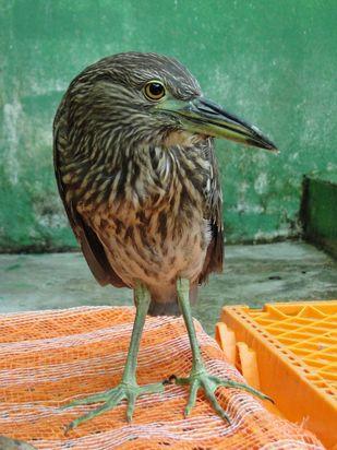 Ave foi resgatada em março e passa por tratamento