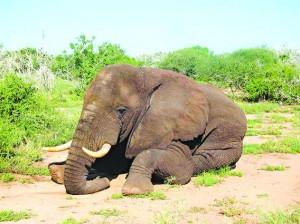 Morgan, um macho de 30 e poucos anos, percorreu mais de 210 quilômetros em zona de guerra. Foto: Save the Elephants, via Agence France-Presse — Getty Images