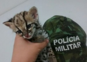 Animal foi resgatado em residência no bairro Pacoval, em Macapá. Foto: Divulgação/ Batalhão Ambiental