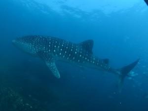 Tubarão-baleia de quase 8 metros de comprimento foi visto. Foto: João Paulo Scola/Operadora Pé de Pato