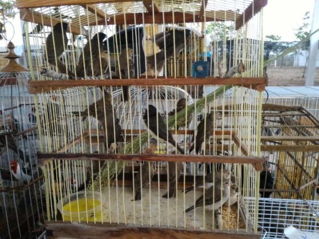 Aves estavam em cativeiro ou sendo comercializadas ilegalmente (Foto: Divulgação/ MP-AL)