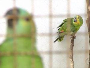 Araras, maritacas e periquitos são algumas das espécies apreendidas. Foto: Reprodução/TV TEM