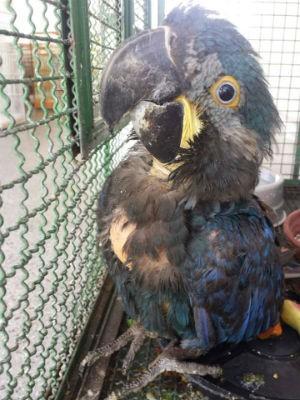 Filhote de arara-azul-de-lear estava entre os animais resgatados (Foto: Divulgação / PRF)