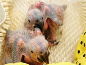 Os filhotes Benjamin e Flora nasceram em abril. Foto: Paulo Gil/ZooSP/Divulgação