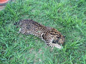 Ciclista encontrou jaguatirica morta em acostamento. Foto: TV TEM/Reprodução
