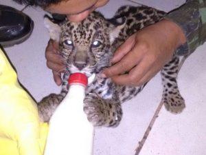 Filhote de onça-pintada é alimentado após ser resgatado em Mato Grosso. Foto: Batalhão Ambiental