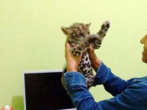 Filhote de onça-pintada criado como gato é resgatado em cidade de MT. Foto: Batalhão Ambiental