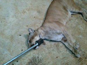 Onça-parda foi recapturado com um cambão no Parque Chico Mendes. Foto: Divulgação/Batalhão Ambiental