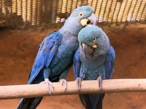 O casal Francisco e Ana Clara que gerou os filhotes de arara azul no Zoológico de São Paulo. Foto: TV Globo/Reprodução