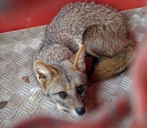 Filhote de raposa é encontrado nos fundos de restaurante em Três Corações. Foto: Corpo de Bombeiros