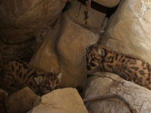 Filhotes de leão da montanha recém-encontrados nas Montanhas Santa Susana, perto de Los Angeles, em foto do dia 6 de julho. Foto: National Park Service/Handout via Reuters