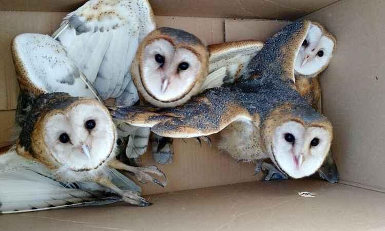 Quatro corujas voltaram para o habitat natural (foto: PM/Divulgação)