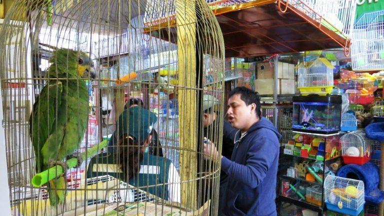 (Arquivo) Papagaio capturado ilegalmente é vendido em um mercado do Peru - SERFOR/AFP.