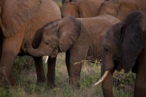 Pesquisadores estudam como elefantes se desenvolvem depois de mães serem mortas por caçadores. Foto: Tyler Hicks/The New York Times