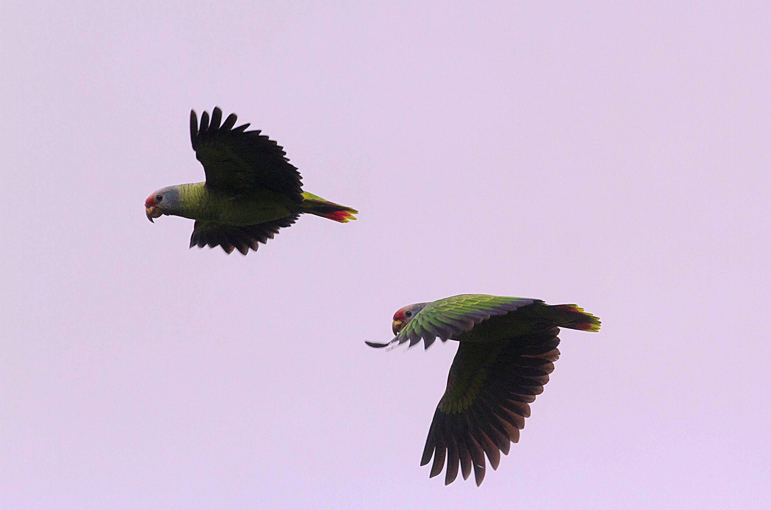 Casal de Papagaios-de-cara-roxa (Amazona brasiliensis). Foto: Fabio Schunck