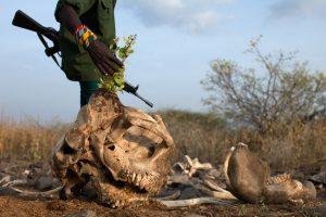 Crânio de elefantes. Foto: Tyler Hicks/The New York Times