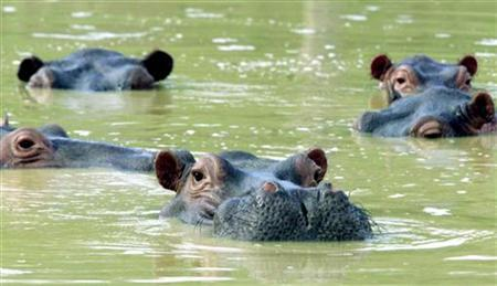 In this file photo a herd of hippopotamuses swim in a muddy lake at the abandoned country home of former drug kingpin Pablo Escobar in central Colombia. A hippopotamus that escaped three years ago from a zoo built by the late Colombian drug lord has been spotted living in the wild near the Magdalena river, according to a local magazine. REUTERS/STR New