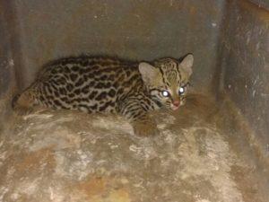 Filhote de jaguatirica é capturado em zona rural de Tupaciguara. Foto: Polícia Militar de Meio Ambiente/Divulgação