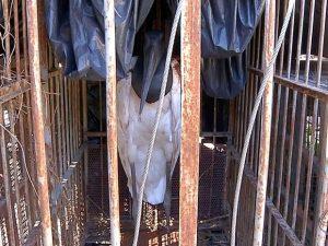 Tuiuiú foi capturado ferido em um terreno baldio em Ladário, MS. Foto: Reprodução/TV Morena