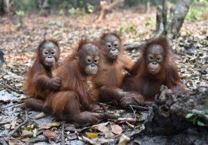 Orangotangos de Bornéo estão em situação de 'perigo crítico'. Foto: Borneo Orangutan Survival Foundation (BOSF)/ AFP