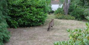 Puma ronda casa e gera alerta em cidade do Canadá. Foto: Nicole Shanks/Facebook