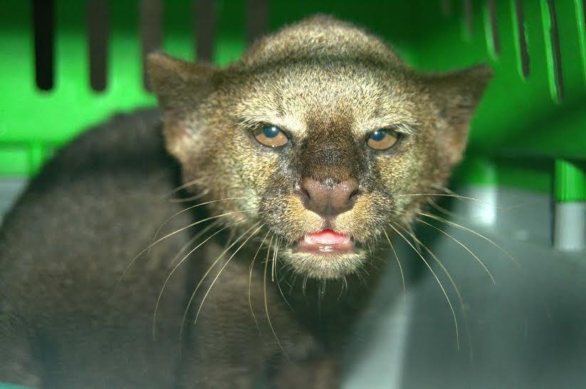 Puma jaguarundi resgatada pelo Ipaam (Divulgação/Ipaam)